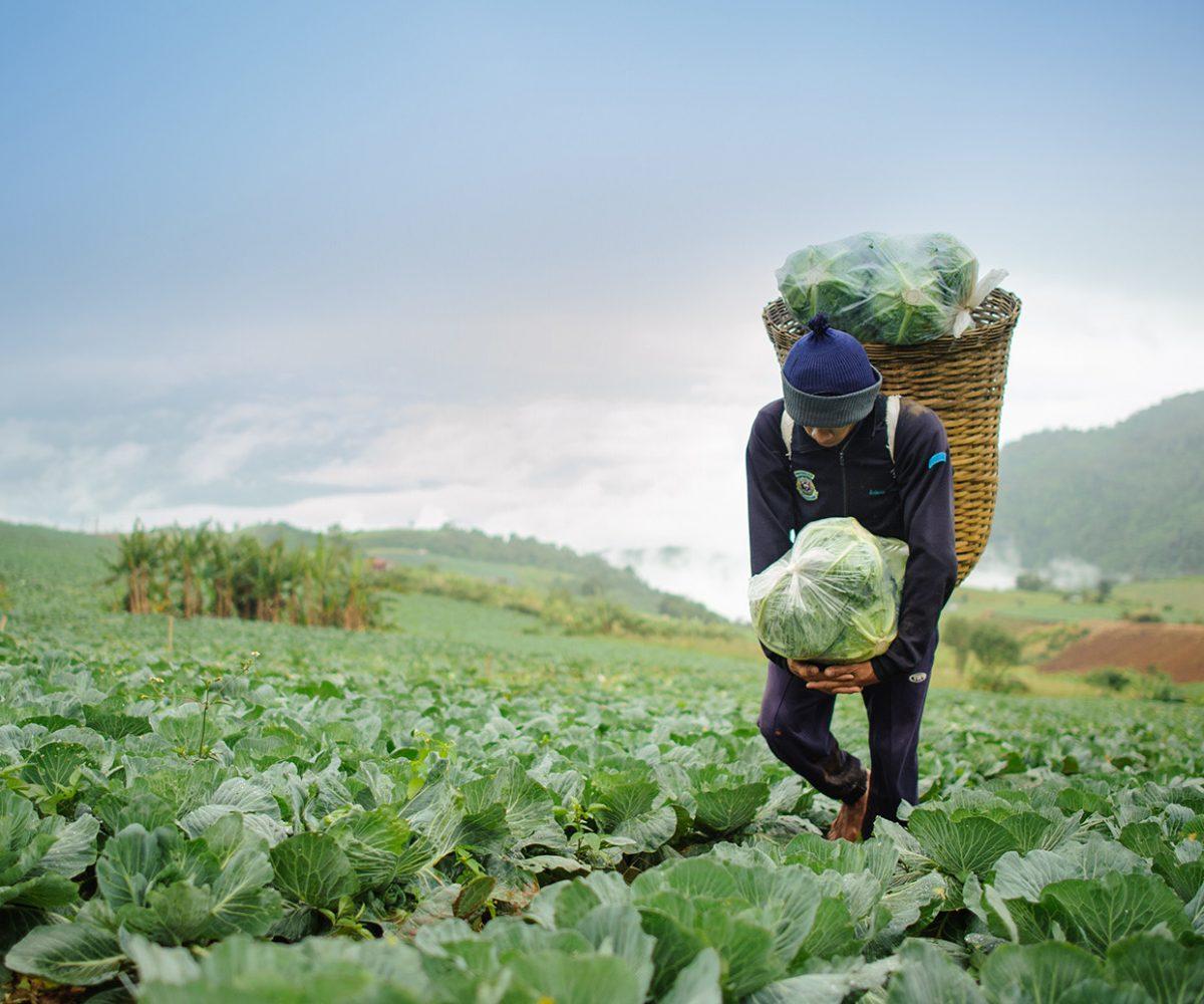 cabbage-field-farmer-e1448976694631